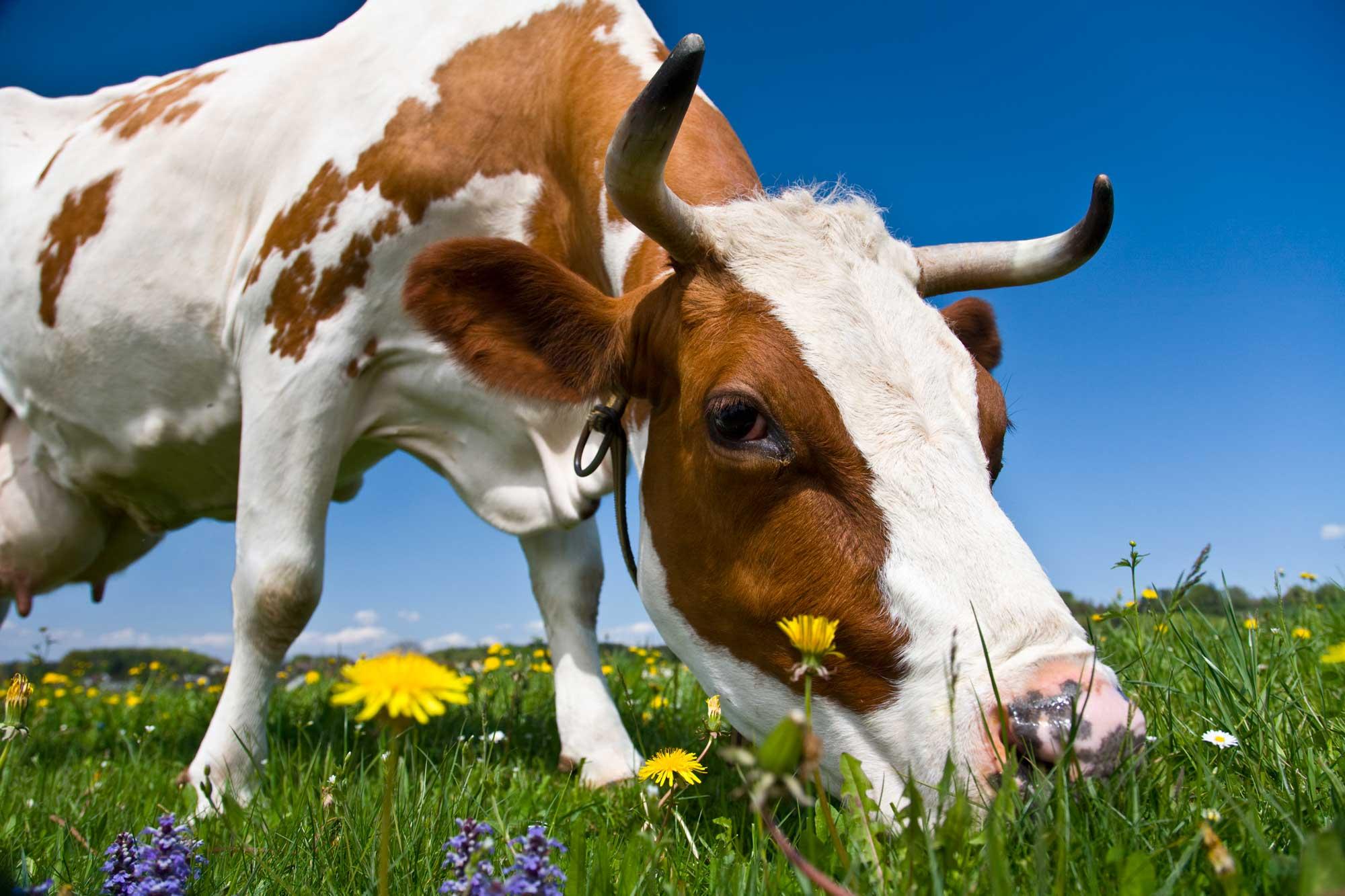 Danskernes madvaner: Så meget økologisk ost spiser vi