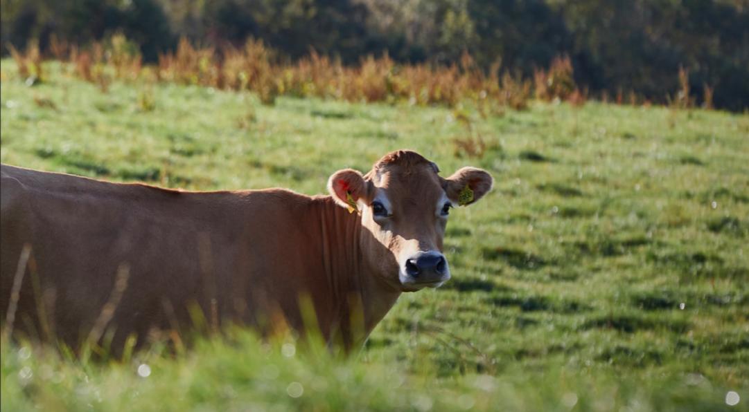 Er fremtidens ost lavet af græsmælk?